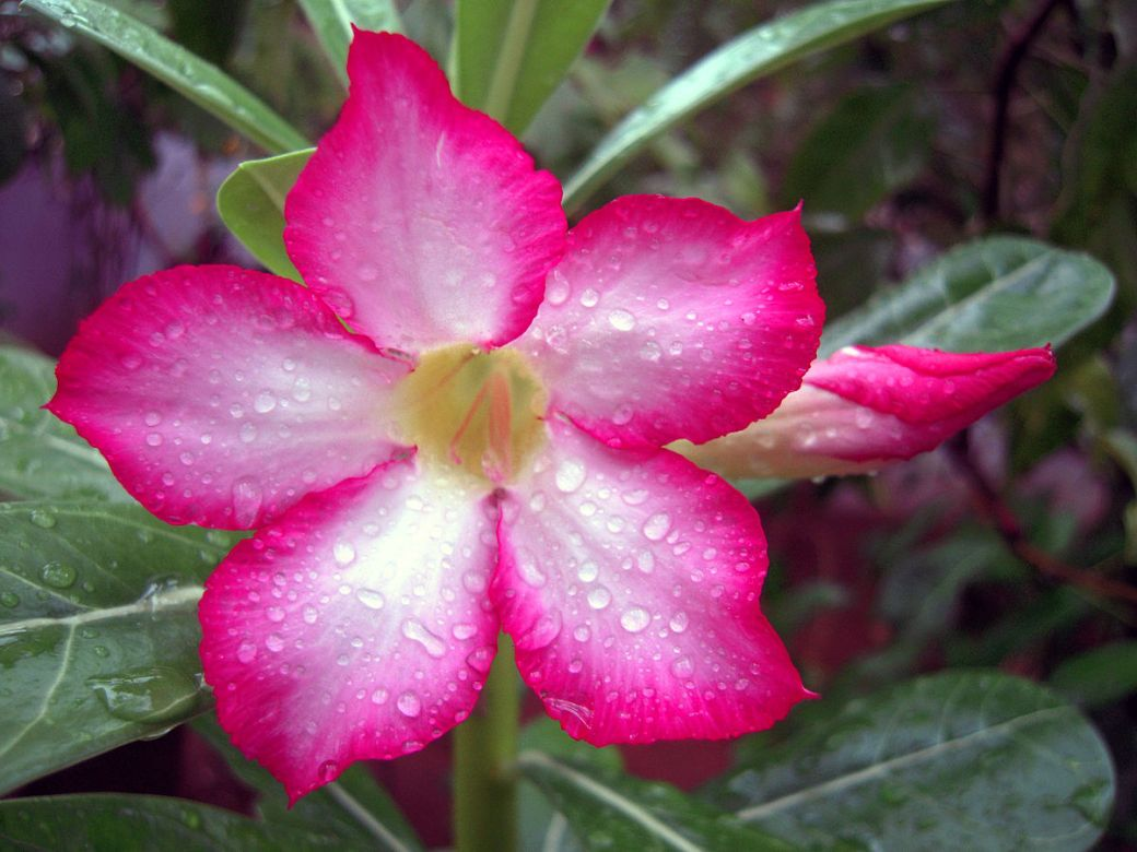 1200px-Adenium_obesum_Also_known_by_the_names_Sabi_Star,_Kudu,_Mock_Azalea,_Impala_Lily_&_Desert-rose