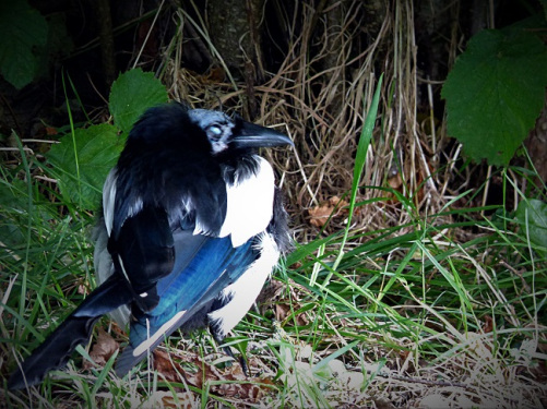 different-magpie-1